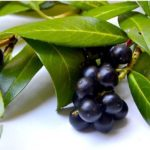 List of laurels and its healing properties of leaves and berries!